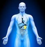 Medical Imaging - Spleen. Medical Imaging - Male Organs - Spleen Stock Photography