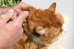 Medical Injection For A Sick Cat Stock Images