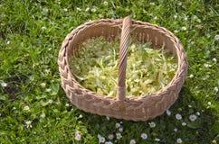 Medical linden flowers harvest basket on summer grass Stock Photography