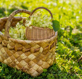 Medical linden flowers harvest wicker basket Stock Images