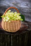 Medical linden flowers in a rustik  basket Royalty Free Stock Photo