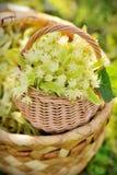 Medical linden flowers in a rustik  basket Stock Image