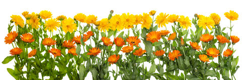 Medical marigold isolated line Stock Images