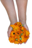 Medical marigolds in worker hands. Flowers of a medical calendula marigolds in rural workers hand for you. Isolated studioconcept royalty free stock photos