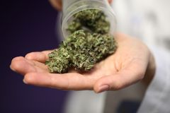 Medical marijuana in the hand of a doctor. cannabis alternative medicine stock photography