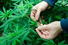 Medical marijuana leaves. Farmer inspecting his medical marijuana plants in an indoor grow room Royalty Free Stock Photo