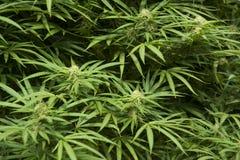 Medical marijuana, legal in California stock photo