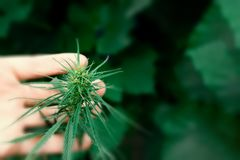 Medical marijuana plant alternative medicine. Growing premium cannabis products royalty free stock image