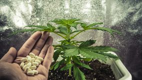 Medical marijuana plant growing indoor. Pills in female hand royalty free stock photos