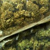 Medical Marijuana RX Royalty Free Stock Image