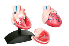 Medical model of heart. There is medical model of heart on white background royalty free stock images