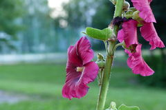 Medical mullein. Detailed view of the medical mullein Royalty Free Stock Photo
