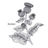Medical plant Burdock. Realistic medical plant Burdock. Vintage engraving. Vector illustration art. Black and white. Hand drawn of flower. Alternative medicine Stock Photography