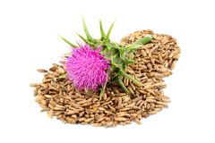 Medical plants. Milk thistle flower with seeds Silybum marianum. Isolated on white background stock photos