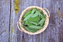 Medical sage salvia leaves in wicker basket on old  table Royalty Free Stock Photos
