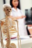 Medical Skeleton Stock Photo