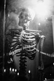 Medical skeleton model with light in showcase,black and white color picture style Stock Photos