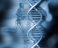 Medical skeleton in running pose. 3D render of medical skeleton in running pose Royalty Free Stock Image