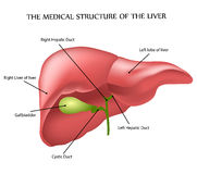 Medical structure of the liver Stock Photography