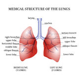 Medical structure of the lungs Royalty Free Stock Image