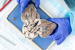 Medical student displaying a bisected heart. Of a sheep showing the structure of the ventricles and heart muscle during anatomy class, view from above Stock Photography