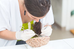 Medical student dissecting a human brain Royalty Free Stock Photo