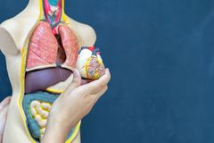 Medical treatment of people,Captures heart model in order to lea stock photo