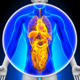 Medical X-Ray Scan - All Organs Stock Photography