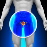 Medical X-Ray Scan - Bladder Royalty Free Stock Photography