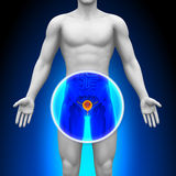 Medical X-Ray Scan - Bladder Royalty Free Stock Photo