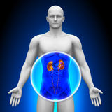 Medical X-Ray Scan - Kidneys Royalty Free Stock Photos