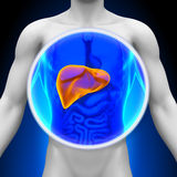 Medical X-Ray Scan - Liver Stock Image