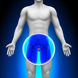 Medical X-Ray Scan - Prostate Royalty Free Stock Photos