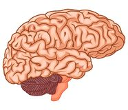 Medically accurate illustration of the brain Stock Images