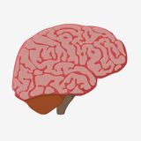 Medically accurate illustration of the brain Royalty Free Stock Photography