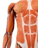 The human upper arm anatomy. Medically accurate illustration of the human upper arm anatomy stock illustration