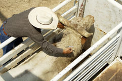 Medication. A veterinary administers medication to a bull Stock Image