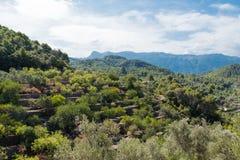 Medicean Ölbäume der Olivenbaumterrassen lizenzfreies stockbild