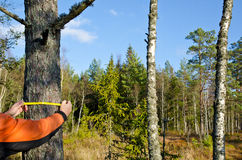 Medición de un tronco de árbol Imagen de archivo libre de regalías