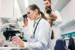Medici veterinari che analizzano i campioni di sangue del gatto sotto il microscopio fotografia stock