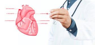 Medicin doktor Vektor - anatomisk hjärta Arkivbild