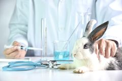 Medicin och vaccinera forskning, forskareprovningsdrog i kanindjur royaltyfria foton