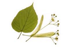 Medicina alternativa: flores do linden foto de stock royalty free