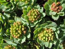 Medicina di erbe - roseroot Fotografia Stock Libera da Diritti
