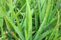 Medicina di erbe di Vera Plant dell'aloe per cura di pelle Fotografia Stock