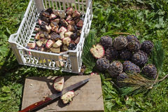 Medicina naturale Taglio delle pigne di pinus cembra Fotografia Stock Libera da Diritti