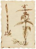 medicinal örtar royaltyfri illustrationer