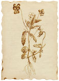 medicinal örtar stock illustrationer