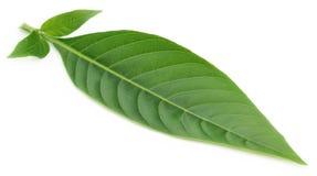 Medicinal Basak leaf Royalty Free Stock Image