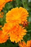 Medicinal calendula royalty free stock photo